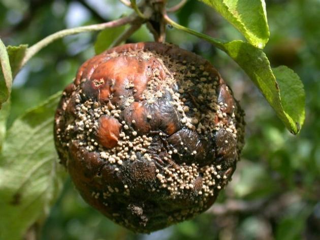 Rotten Apple?